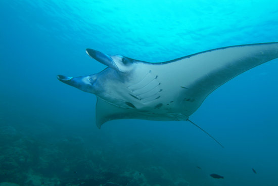 Manta Ray in Yap, Federated States of Micronesia