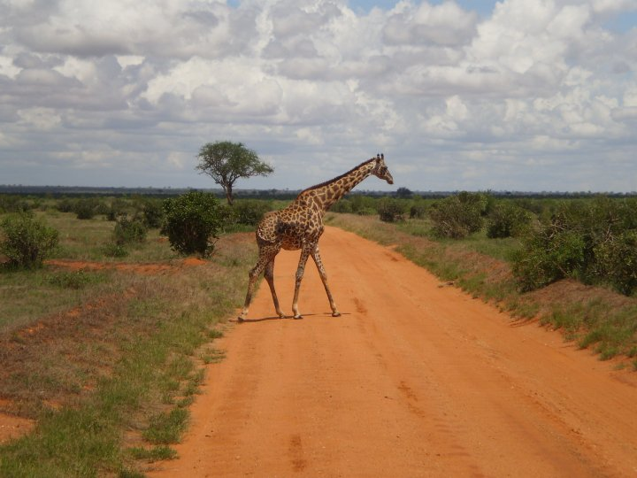 Giraffe at Tsavo National Park