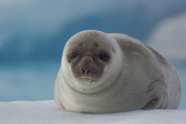 Greenland Harp Seal
