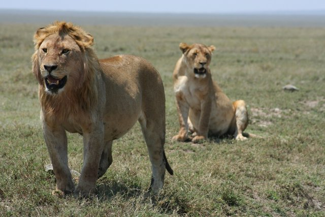 Lions in the Serengeti National park, Tanzania