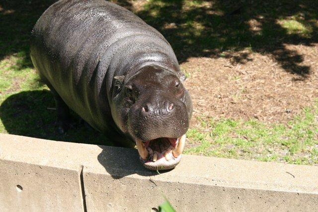 Pygmy Hippopotamus in Liberia