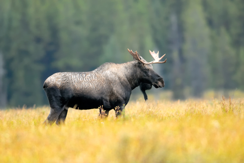 Picture of a Moose in Canada