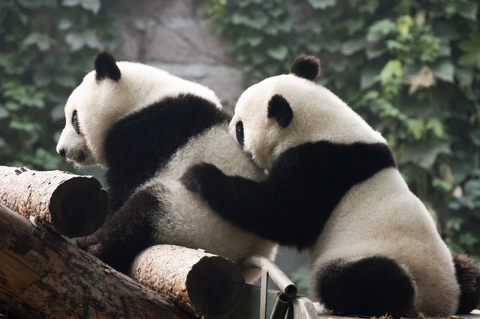 Cool Pandas in China